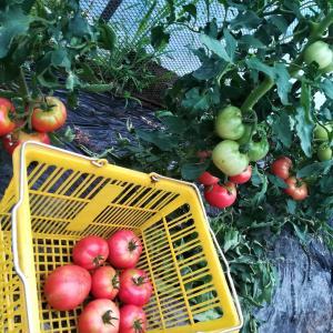夏野菜 今年は桃太郎豊作か?