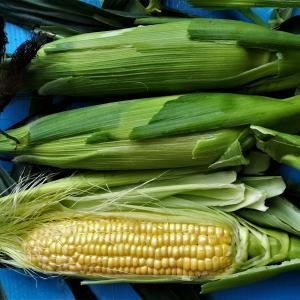 トウモロコシ 意外な収穫
