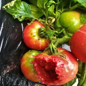 ヒヨドリがトマトをついばむ