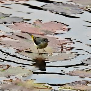 カイツブリの幼鳥 長谷池 in 森林植物園  キセキレイ ホオジロ ツグミ