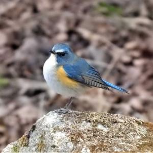 神戸森林植物園 ルリビタキ♂♀ ジョウビタキ♂ ミヤマホオジロ♂ など9種の野鳥と遊ぶ
