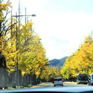 「甲州街道の八王子のイチョウ並木の今日の黄葉」