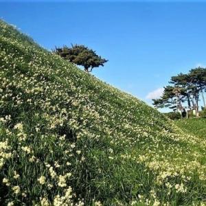 師走に咲く伊豆の爪木崎水仙郷の写真