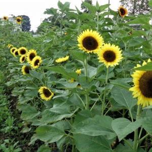 「夏の花々の写真をお楽しみください」