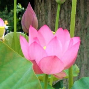 「初夏の風物詩、蓮の花が今年も咲きました」