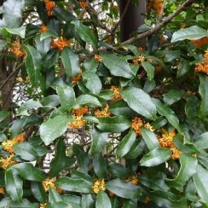 金木犀の香りがいっぱい