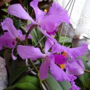 カトレア開花