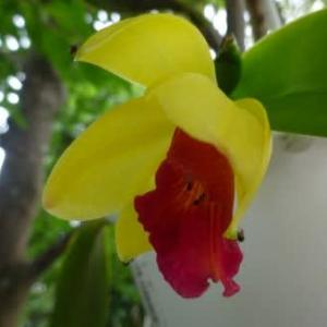 ミニカトレア(スウィートシュガーヒミコ)開花