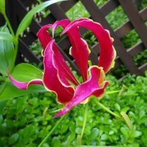 グロリオサ開花、山ユリも間もなく