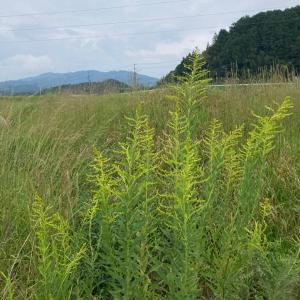 ◆デトックスに使える!今が旬の野草について。