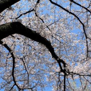 さみしい桜