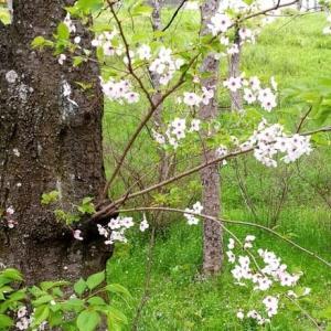 桜と三塁ベース