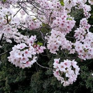 桜とピアノ