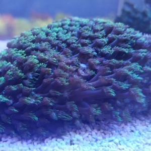 サンゴが少し入荷しました
