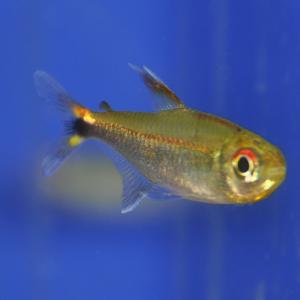 おすすめの熱帯魚