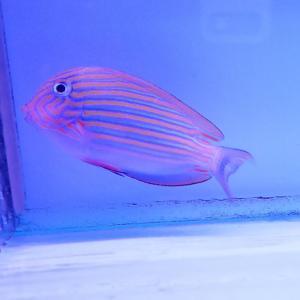 おすすめの海水魚です