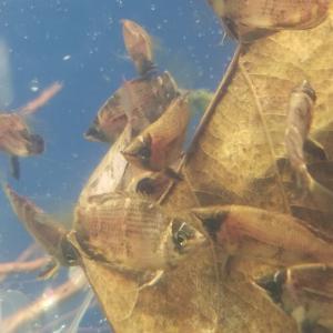 熱帯魚の入荷案内です