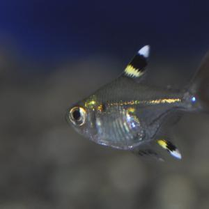 おすすめの熱帯魚達です