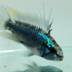 おすすめの熱帯魚です