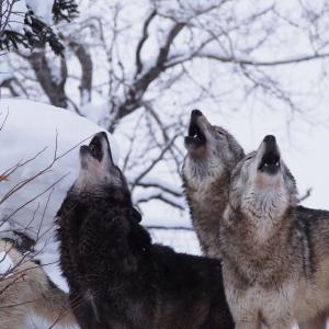 一見クールだけれど実はシャイ「胎」オオカミ