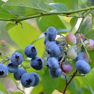 果樹の収穫 2019(5)~ 「ブルーベリー」