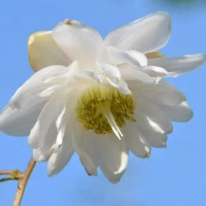 八重咲レンゲショウマ(1)~芽出しから開花へ