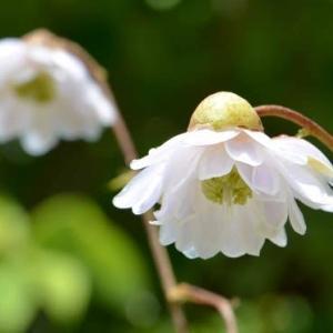 八重咲レンゲショウマ(2)~8月から9月初めの花