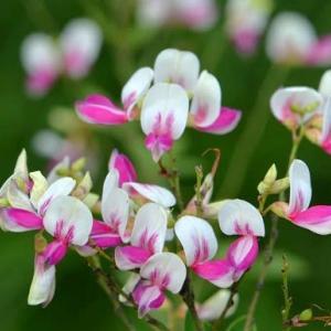 萩の花(1)~ 江戸絞り萩