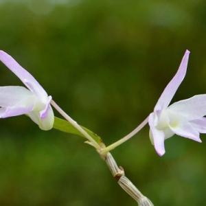 季節外れに咲いた、セッコク「桃苑」