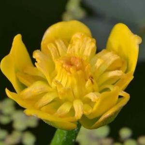 ヒメコウホネも再度の開花です