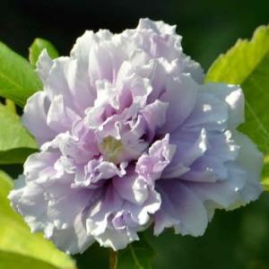 ムクゲの花(1)~「紫玉」