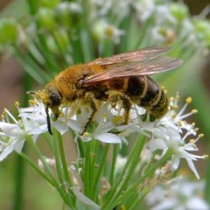ニラの花と キンケハラナガツチバチ