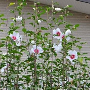 ムクゲの花(2)~宗旦ムクゲ