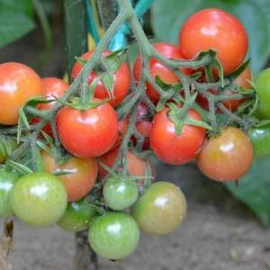 家庭菜園 2019(10)~ ミニトマト
