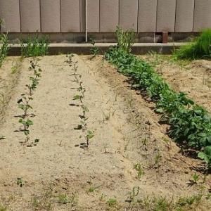 家庭菜園 2019(11)~ サツマイモ
