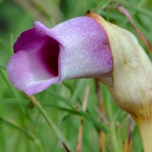 鉢で咲いた「ナンバンギセル」