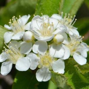 鉢植えのカマツカ(1)~ 白花
