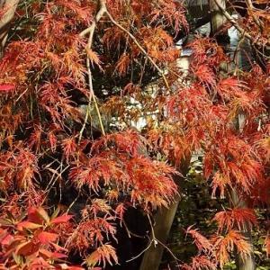 庭の紅黄葉 2019(4)~モミジ「紅枝垂れ」-2