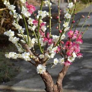 鉢植えの花梅 2020(3)~「紅白梅」