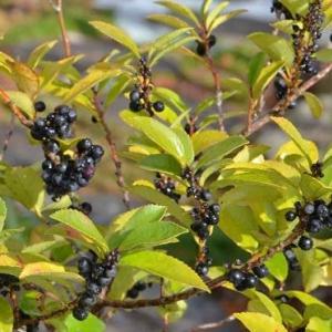 前年の忘れ物(3)~ヒサカキの花と果実