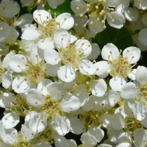 ピラカンサ(1)~花と果実