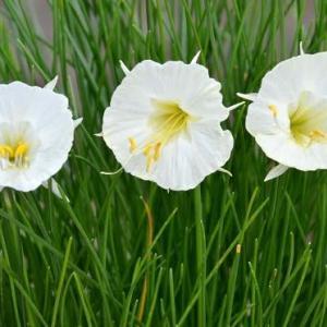 バルボコジュームの花 2020