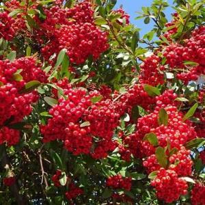 ピラカンサ(2)~果実と野鳥