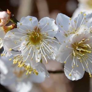 庭の実梅~「藤五郎」の花