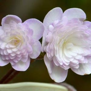 雪割草の花 2020(7)~千重咲き紫花
