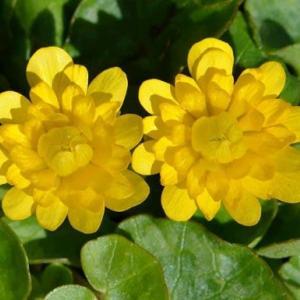 ヒメリュウキンカ(2)~八重咲き種