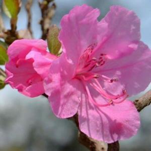 鉢植えのツツジ 2020(2)~ゲンカイツツジ2種
