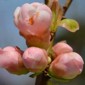 鉢植えのボケ 2020(1)~祝桜