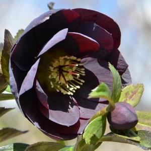 クリスマスローズの花(4)~「八重ブラック」