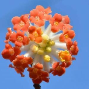 紅花ミツマタの花 2020